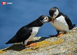 POST CARD - PUFFINS - 586 - 00613