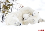POST CARD - POLAR BEARS - 586 - 00615