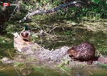 POST CARD - BEAVER DUCK - 586 - 00643
